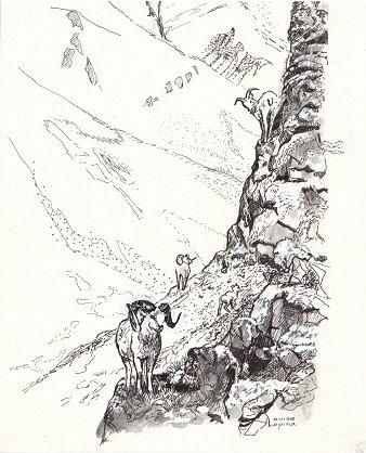 Big Horn Sheep Illustration